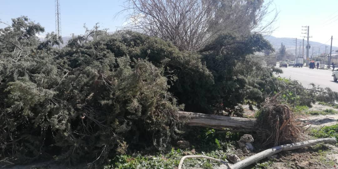 قطع و ریشه کنی درختان در بلوار مرکزی چرام توسط شهرداری / اخذ مجوز از منابع طبیعی صورت گرفته یا اقدام خودسر شده است